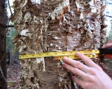 Yellow Birch circumference