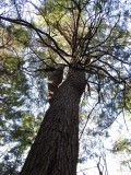 massive Eastern White Pine