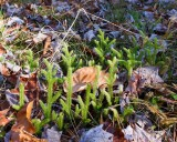 Running Clubmoss