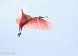 Roseate Spoonbill-Full Flaps for Landing.jpg