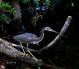 Louisiana Heron with Sore Toe
