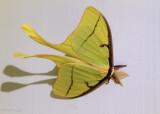 Aviator:  Luna Moth
