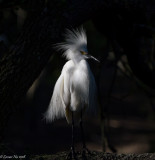 Standing In the Shadows - Snowy Egret