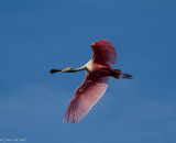 Spoonbill with Damaged Flight Feathers