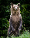 Romania Brown Bear