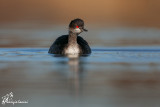 Svasso piccolo, Black-necked grebe