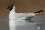 Gabbiano comune, Black-headed gull