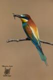 Gruccione, Bee-eater