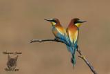 Gruccioni, Bee-eaters