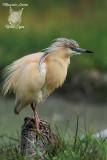 Sgarza ciuffetto, Squacco heron