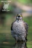 Sparviere , Eurasian sparrowhawk