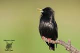 Storno nero, Spotless starling
