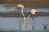 Giovani fenicotteri ,Young greater flamingos