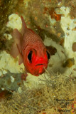 Pesce scoiattolo,Doubletooth soldierfish