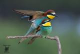 Accoppiamento di Gruccioni, Bee-eaters mating