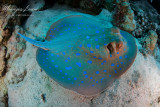 Pastinaca dalle macchie blu ,Blue-spotted ribbontail ray