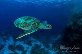 Tartaruga verde, Green sea turtle