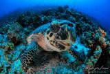 Tartaruga embricata, Hawksbill sea turtle