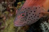 Pesce falco, Hawk fish