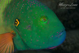 Broomtail wrasse close-up