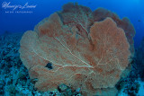 Gorgonia, Sea fan