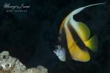Pesce angelo, Angelfish