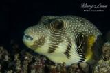 Pesce palla, White-spotted puffer