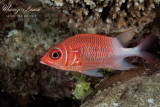 Pesce scoiattolo, Silverspot