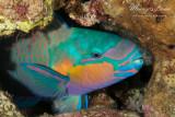 Pesce pappagallo, Parrot fish