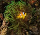 Pesce pagliaccio, Clownfish