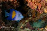 Pesce angelo, Angel fish