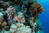 Pesce scorpione, Scorpion fish