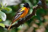 Bobolink, Meadowlarks, Blackbirds & Orioles
