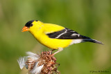 Finches, Crossbills, Siskin & Goldfinches