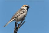 Saxaul Sparrow (Passera del Saxaul)