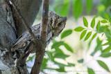 Eurasian Scops Owl (Assiolo)