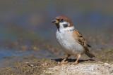 Tree Sparrow (Passera mattugia)