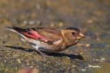 Eurasian Crimson-winged Finch (Rhodopechys sanguineus)