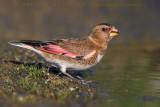 Eurasian Crimson-winged Finch (Fringuello alicremisi asiatico)