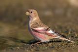 Mongolian Finch (Trombettiere mongolo)