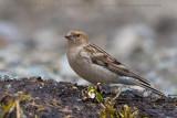 Plain Mountain Finch (Fringuello montano disadorno)