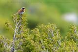 Eversmann's Redstart (Codirosso di Eversmann)