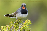 White-tailed Rubythroat (Calliope codabianca)