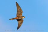 Northern Hobby (Falco subbuteo)