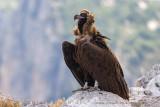 Black Vulture (Avvoltoio monaco)