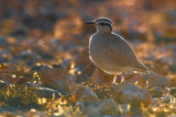 Cream-coloured Courser (Cursorius cursor bannermani)