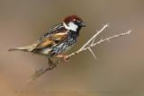 Spanish Sparrow (Passera sarda)