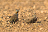 Black-bellied Sandgrouse (Ganga)
