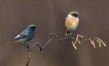 European Stonechat (Saxicola rubicola) & Black Redstart (Phoenicurus ochruros gibraltariensis)