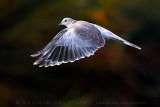 Collared Dove (Tortora dal collare)